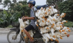 VIDEO: Βιετνάμ, τι κουβαλάνε πάνω στα παπιά;